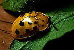 Golden Tortoise beetle Metriona bicolor