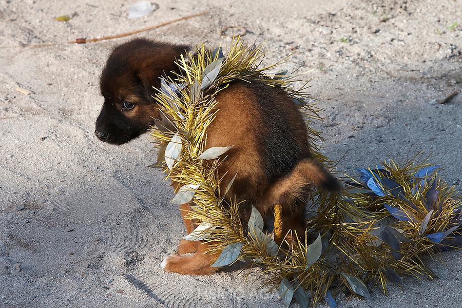 A puppy adorned with a Christmas girland by playful kids shows what it thinks about this.