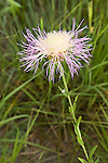 American Basketflower.Centaurea americana.south of Alpine, Texas, United States.10 August      Flower       Asteraceae