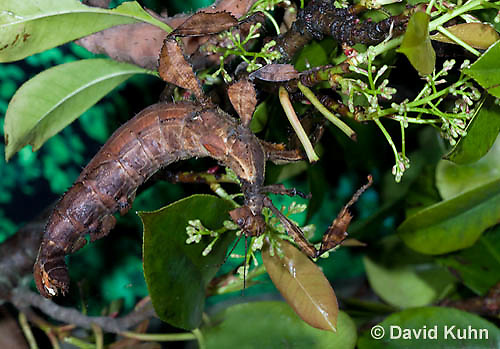 0415-1103  Giant Prickly Stick Insect (Macleays Spectre), Extatosoma tiaratum  © David Kuhn/Dwight Kuhn Photography