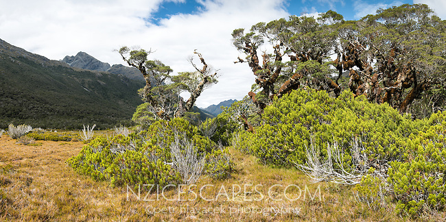 Sub-alpine vegetation with beech trees and bogs near Greenstone Saddle, Fiordland National Park, Southland, South Island, UNESCO World Heritage Area, New Zealand, NZ