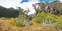 Sub-alpine vegetation with beech trees and bogs near Greenstone Saddle, Fiordland National Park, Southland, South Island, UNESCO World Heritage Area, New Zealand, NZ
