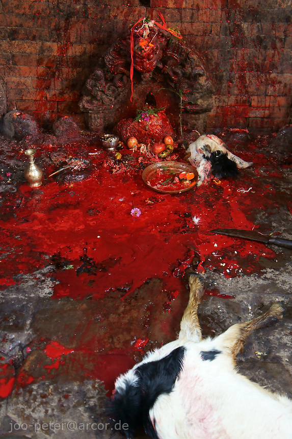 blood of asacrificed goat is spilled on temple during dashein festival time in Bhaktapur, Nepal. October 2011.Newar culture is famous for blending Hindu and tantric buddhist tradtions in Nepal, also rooted in earlier animistic tradtions, as both Hindu and Buddhist culture do in parts - as can be seen in archaic rituals of Dashain sacrifices for goddess Durga and her nine incarnations.<br /> street scene during dashein festival time in Bhaktapur, Nepal. October 2011. The banner shows different gods, mostly incarnations of Durga. Dashain festival is dedicated to the nine incarnations of Durga, lasting nine days for every incarnation (plus six more days).