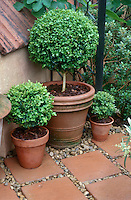 Topiary Buxus boxwood shrubs trained as standards in terracotta clay pot container garden on terracotta patio stones