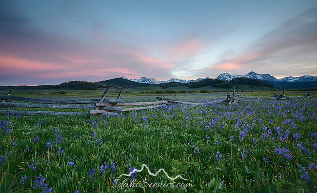South Central Idaho, SNRA, Stanley, Camas lilies under a sunset sky with the Sawtooth Range distant in late spring.