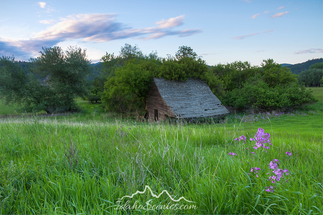 Washington, Eastern, Chewelah. An old barn being reclaimed by nature.