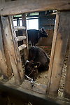 A cow lies dying of thirst in a cattle shed in Minami-Soma, Fukushima Prefecture, Japan on 30 March, 2011.  Photographer: Robert Gilhooly