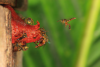The little trigone bee, Tetragonisca angustula, which only measures 4 millimeters, builds a wax cone of a few centimeters to protect its honey supply. The cone's color depends on the plants that the bee has visited.