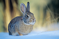 Cottontail Rabbit in the snow, winter near Flagstaff, Arizona, AGPix_0187.