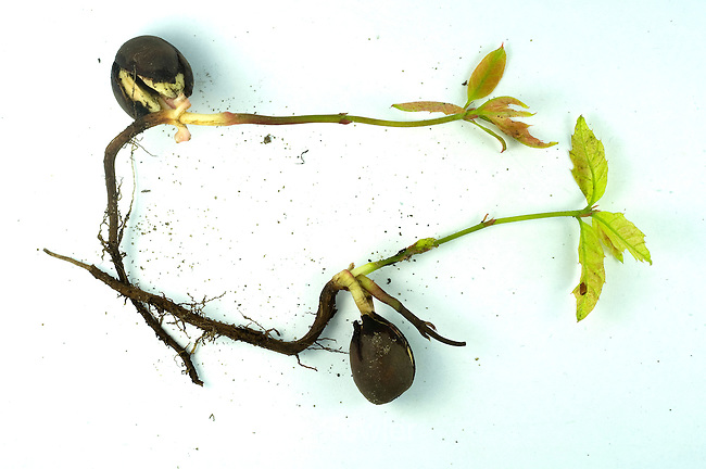 Northern Red Oak, Quercus rubra, acorn sprouting
