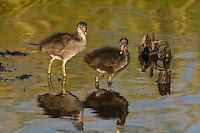 559500017 common gallinules gallinula galeata or common moorhens gallinula chloropus wild texas.Chicks in Pond.Anahuac National Wildlife Refuge, Texas