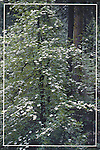 FB-S8   Mountain dogwood