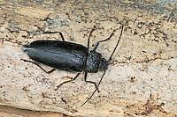 Mulmbock, Zimmerbock, Ergates faber, Carpenter longhorn, Long horned beetle