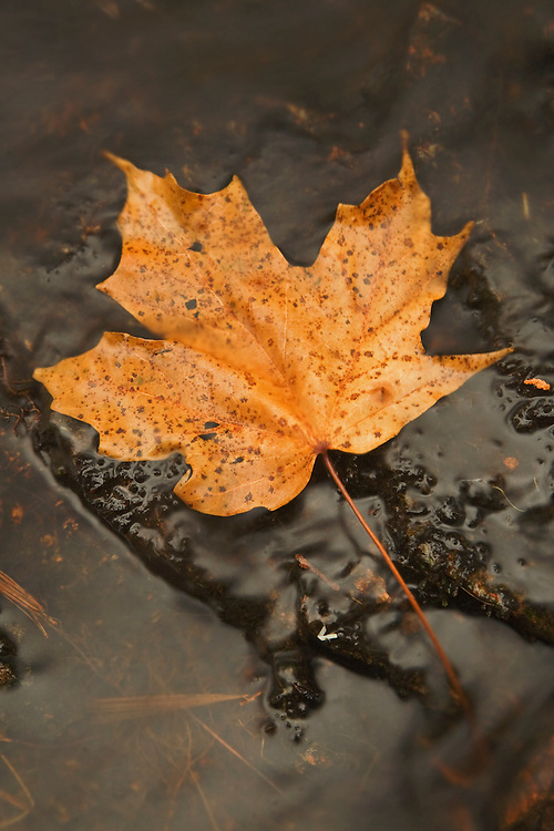 A fallen maple leaf rests along the Duck Brook in Acadia National Park, Maine, USA