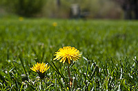 Dandelions in flower in lawn grass ( Taraxacum officinale
