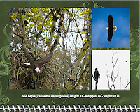 "August of the 2014 Birds of a Feather Calendar. Photo is called ""Bald Eagle Out of the Nest"" and ""Eagle Dreams"" and ""Bald Eagle Blue Sky Soar"".  An adult Bald Eagle (Haliaeetus leucocephalus) has it's wings spread as it drops out of it's large nest with a small chick barely seen in the nest among the tall trees in the Ridgefield National Wildlife Refuge"