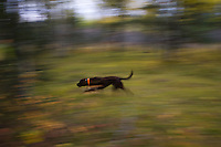 A chocolate pointing labrador retriever is a blur of motion while hunting grouse and woodcock near Gwinn Michigan.