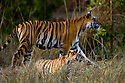 Female Bengal Tiger (Panthera tigris tigris)  (Lakshmi) with cub - around 3.5 months old - in foreground. Bandhavgarh National Park, Madhya Pradesh, India.