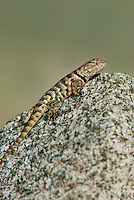 442800013 a wild yellow-backed spiny lizard sceloparus uniformis perches on a rock along chalk cliffs road bishop california united states