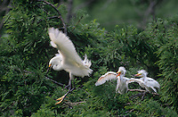 525155002 a wild adult snowy egret egretta thula  leaves its nest with two fledgling chicks in a rookery in southern louisiana
