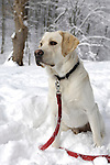 Labrador dog on white winter snow Wintertime nature scenic