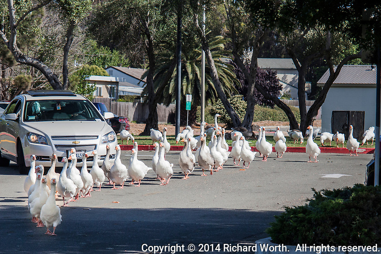 A waddling line of geese ties up traffic, one car, in the parking lot at the Duck Pond city park.