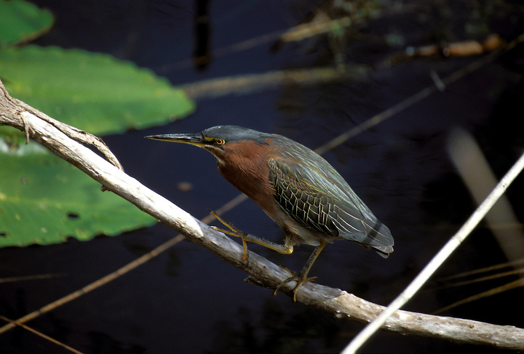 FL: Florida Everglades National Park, bird, green heron.Photo Copyright: Lee Foster, lee@fostertravel.com, www.fostertravel.com, (510) 549-2202.Image: flever253
