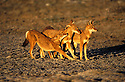 Ethiopian Wolves. Bale mountains. Ethiopia