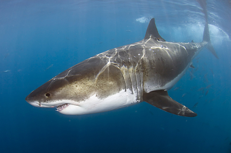 carcharodon carcharias great white shark