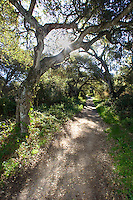 Coast oak tree along Garland Ranch - Carmel Valley, California.