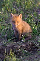 Red Fox Kit sitting outside its den in the late evening light