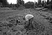 Aptos, California<br /> October 23, 2012<br /> <br /> Jeff Bradford, farm owner of Old House Farm, harvests potatoes for the next day's market.