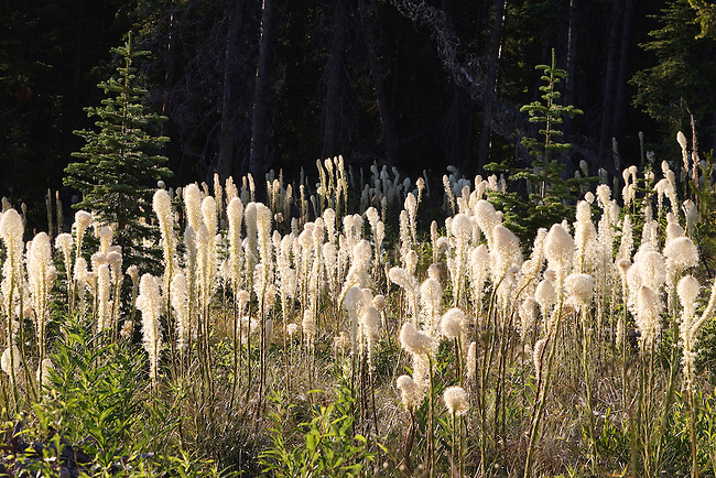 Beargrass blooms in a forest opening in Montana