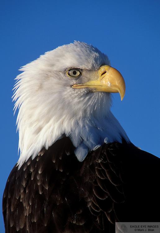 02981936_Bald_Eagle_head_AK<br /> Bald Eagle - head, adult, Kenai Peninsula, Alaska