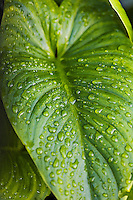 Clean and green:  closeup of water drops on a large, fresh, green leaf.