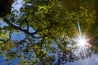 A Japanese Maple is seen reflecting in a pond with a star sunburst coming through the branches on a Spring, blue sky day in the Portland Japanese Garden