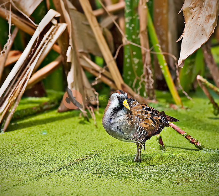 Sora standing in duckweed in Green Cay Wetlands
