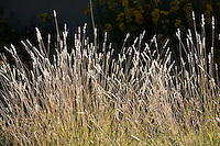 Andropogon hallii (Sand bluestem) New Mexico native grass in meadow garden
