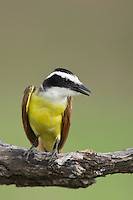 554810208 a wild great kiskadee pitangus sulphuratus perches on a dead mesquite tree limb on laguna seca ranch near edinburg texas united states