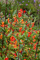 Red Monkey Flower (Mimulus puniceus) in Kyte California native plant garden