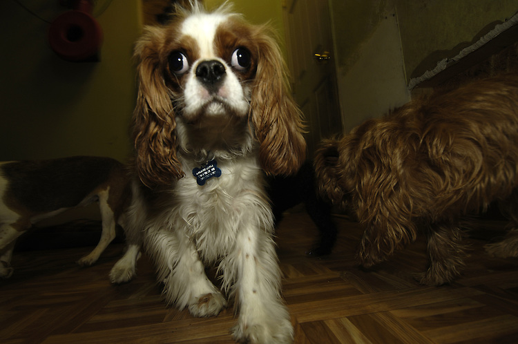A Cavalier King Charles Spaniel at Wag Time plays with his friends during indoor playtime.