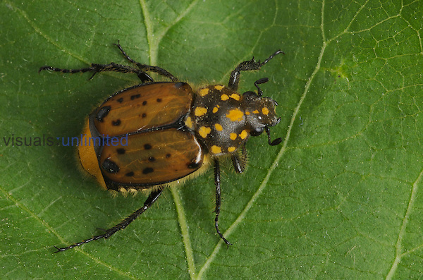 Scarab Beetle (Gnorimella maculosa) on a green leaf, Virginia, USA.