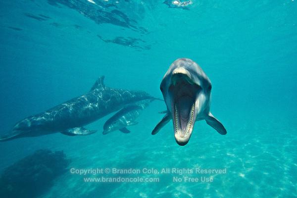 my668. Bottlenose Dolphins (Tursiops truncatus). Honduras, Caribbean Sea..Photo Copyright © Brandon Cole. All rights reserved worldwide.  www.brandoncole.com.