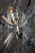 Black and Yellow Argiope (Argiope aurantia), Lake Texoma, Marshall County, Oklahoma, USA
