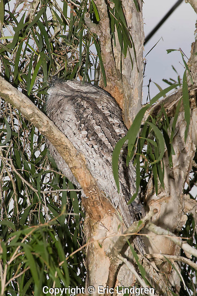 An Australian Tawny Frogmouth, also known as Tawny-shouldered Frogmouth, or (incorrectly) as Mopoke, Morepoke and Frogmouth Owl, roosts during the daytime in a Cajuput Tree in a suburban street.   //  Tawny Frogmouth - Podargidae: Podargus strigoides. Length to 50cm. Found in open woodland throughout Australia, Tasmania, southern New Guinea. Nocturnal, preys on insects and small vertebrates scooped up with broad beak.  Weak anisodactyl toes are useless for catching prey.  /  Cajuput Tree Myrtaceae: Melaleuca leucadendra. Height to 40m, Found in tropical Australia, north to southern New Guinea, then south-east to the Solomon Islands. Common especially near water. Paperbark, drought tolerant, popular ornamental tree in in parks and gardens. Cajuput oil is distilled from the leaves for medicinal purposes.