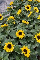 Dwarf Sunflowers 'Big Smile' short Helianthus annuus