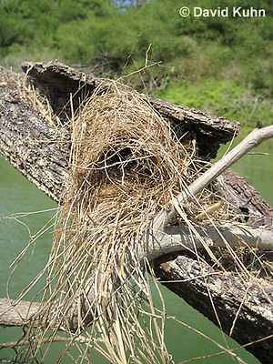 0701-1102  Social Flycatcher Nest (Vermilion-crowned Flycatcher), Enclosed Cup Nest Built Above Water, Belize River in Belize, Myiozetetes similis  © David Kuhn/Dwight Kuhn Photography