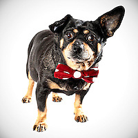 Spud is a little, chunky pug, chihuahua mix who recently found a home after a brief stay in the Sacramento city animal shelter