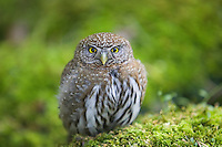 The Northern Pygmy Owl is a tiny, woodland, diurnal Owl that is most active between dawn and dusk.The Northern Pygmy Owl is a tiny, woodland, diurnal Owl that is most active between dawn and dusk.