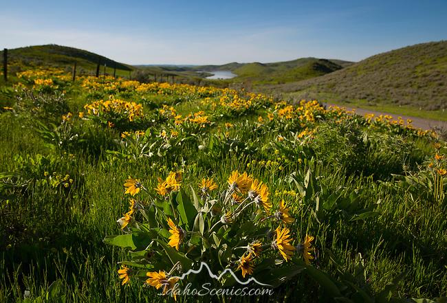IDaho, Western, Washington county, Midvale.  Arrow-leaved balsmaroot cover the hillsides near Mann Creek Reservoir in spring.
